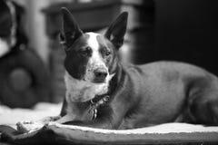 Черно-белый портрет собаки Стоковая Фотография RF