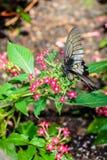 Черно-белый подавать бабочки Стоковая Фотография