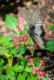 Черно-белый подавать бабочки Стоковые Фотографии RF