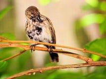 Черно-белый прихорашиваться птицы зяблика Стоковые Изображения RF