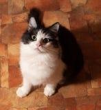 Черно-белый пушистый кот сидит на поле стоковая фотография rf