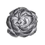 Черно-белый розовый изолированный цветок Стоковая Фотография RF
