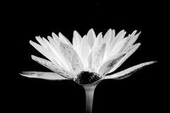 Черно-белый сболтнутый цветок лотоса тона, Стоковое Фото