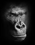 Черно-белый сверхконтрастный животный портрет задумчивой стороны гориллы изолированной в тенях стоковое изображение rf
