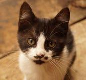 Черно-белый серьезный котенок Стоковые Изображения RF