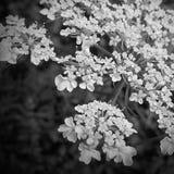 Черно-белый шнурок ферзя Энн Стоковое Изображение RF