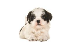 Черно-белый щенок Бумера лежа на поле увиденном от фронта Стоковая Фотография RF