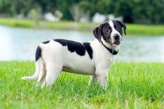 Черно-белый щенок Стоковые Фото