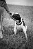 Черно-белый щенок Стоковая Фотография