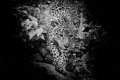 Черно-белый ягуар идя в лес Стоковые Изображения RF