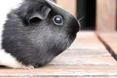 Черно-белый Guineapig Стоковое Изображение