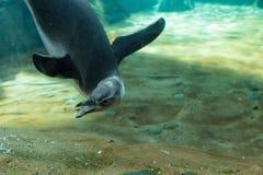 Черно-белый spheniscus пингвина Magellanic Стоковые Фотографии RF