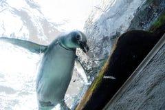 Черно-белый spheniscus пингвина Magellanic Стоковые Фото