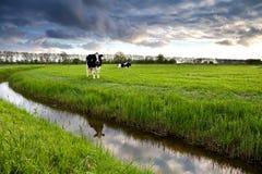 2 черно-белых коровы на выгоне Стоковые Фотографии RF