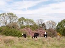 3 черно-белых коровы снаружи в поле есть и пася Стоковая Фотография RF