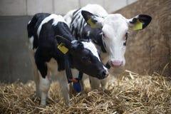 2 черно-белых calfs в соломе амбара Стоковое Изображение