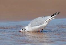 Черно-головая питьевая вода чайки на пляже Стоковые Фото
