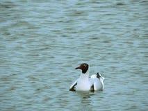 Черно-головая чайка на воде Стоковые Фото