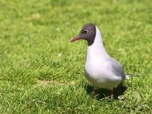 Черно-головая чайка на траве Стоковые Изображения RF