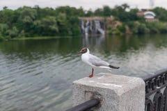 Черно-головая чайка стоя на парапете на обваловке реки Dnipro Стоковая Фотография