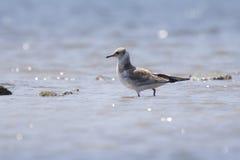 Черно-головая чайка в поиске для еды Стоковая Фотография