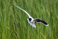 Черно-головая чайка летая (ridibundus Larus) Стоковое Фото