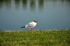 Черно-головая чайка Стоковая Фотография RF