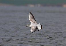 Черно-головая чайка Стоковые Фото
