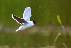Черно-головая чайка (ridibundus Chroicocephalus) Стоковые Изображения