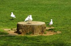 Черно-головые чайки на пне Стоковые Фото