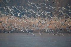 Черно-головые чайки, ridibundus Chroicocephalus Стоковые Фото