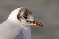 Черно-головый портрет чайки Стоковые Фотографии RF