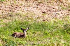 Черно-замкнутое columbianus hemionus американского оленя оленей стоковая фотография rf