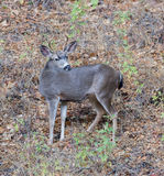 Черно-замкнутые олени & x28; Hemionus& x29 американского оленя; представлять в предпосылке листвы Взрослый, мужчина стоковое фото rf