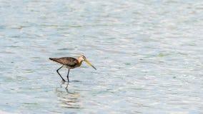 Черно-замкнутый веретенник wading в пруде стоковые фотографии rf