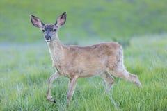 Черно-замкнутый пыжик hemionus американского оленя оленей стоковые изображения