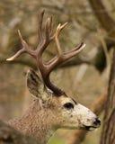 Черно-замкнутый трофеем самец оленя оленей стоковое изображение