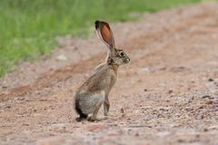 Черно-замкнутый Jackrabbit (californicus Lepus) Стоковые Фото