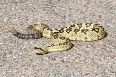 Черно-замкнутый Rattlesnake (molossus Crotalus) Стоковое фото RF