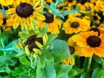 Черно-наблюданные желтым цветом цветки маргаритки Сьюзана в цветени Стоковое Изображение RF