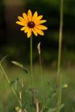 Черно-наблюданное Сьюзан в поле Стоковое Изображение