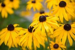 Черно-наблюданное Сьюзан цветет Rudbeckia Стоковая Фотография