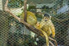 Черно-покрытая обезьяна белки на зоопарке Стоковые Фотографии RF