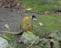 Черно-покрытое boliviensis Saimiri обезьяны белки стоковая фотография