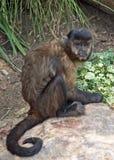 Черно-покрытый Capuchin Стоковые Фото