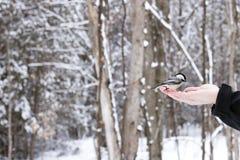 Черно-покрытый Chickadee будучи поданным от человеческой руки в древесинах на зимний день стоковые фото