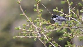 Черно-покрытый chickadee вполне деталей на ветви стоковая фотография rf