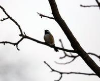Черно-покрытый chickadee поя на ветви дерева в Мичигане Стоковое Фото