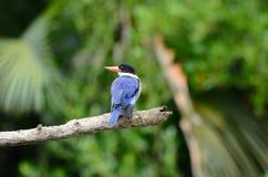Черно-покрытый Kingfisher (Halcyon pileata) Стоковая Фотография