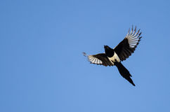 Черно-представленное счет летание сороки в голубом небе Стоковое Изображение